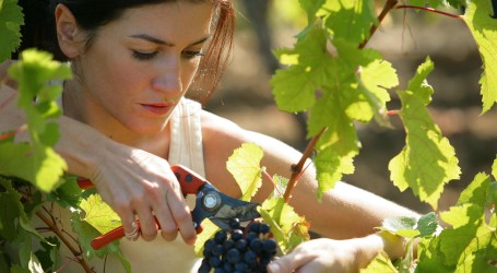 Italian vintners forced to harvest crops early due to sultry summer