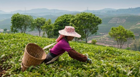 Sri Lanka's tea growers have gone organic